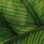 Jasna grafika ścienna z motywem zielonych liściach monster od włoskiej marki Glamora